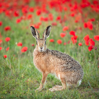 Hare in poppies