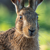 Lashes and whiskers hare