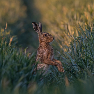 Inquisitive hare 2