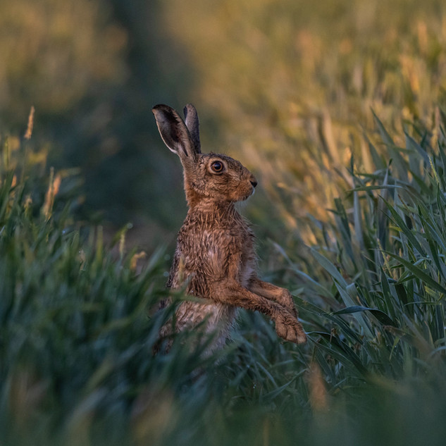Inquisitive hare 2