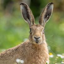Daisy hare