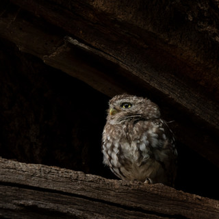Wise little owl