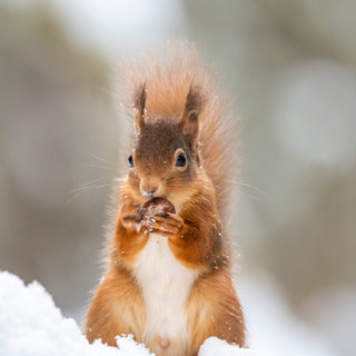 winter red squirrel