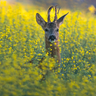 Roe buck in rapeseed