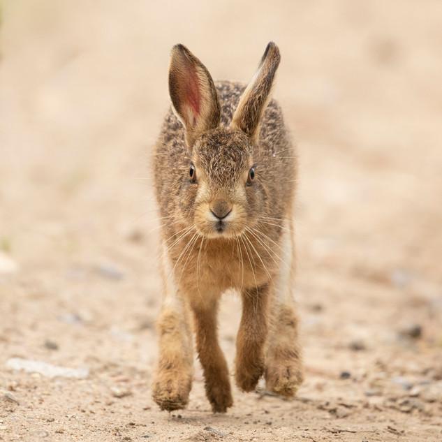 Brown hare leveret