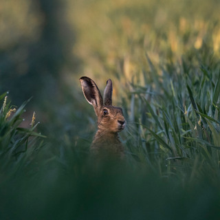 Inquisitive hare