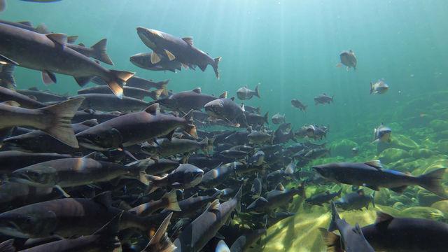 Salmon Return to the Gold River September 2020. Images Fernando Lessa https://www.fernandolessa.ca