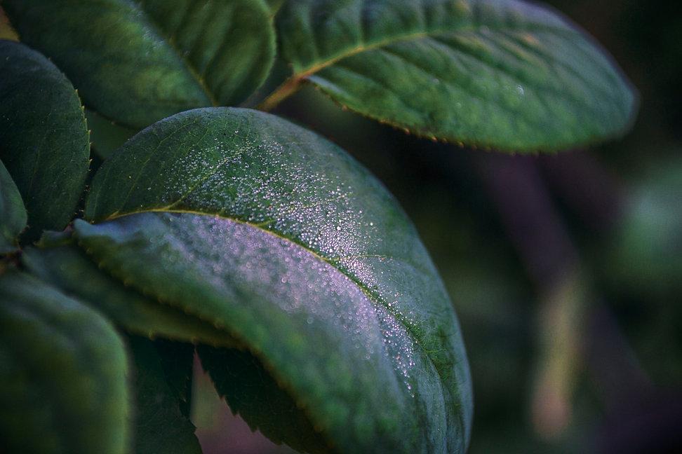 leaf lq.jpg