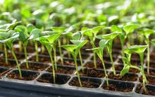 Lettuce Seedlings (Image: Surachet Khamsuk)