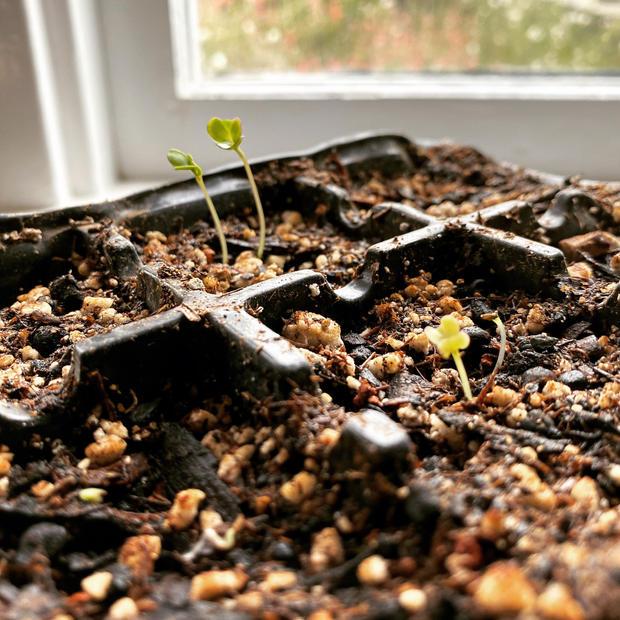 Windowsill sprouting (Image getstarted)