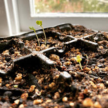 Windowsill sprouting (Image getstarted)
