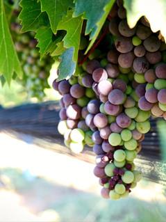 grapes-630x420.jpg