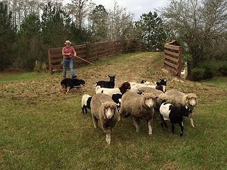 Dog Herding.jpg