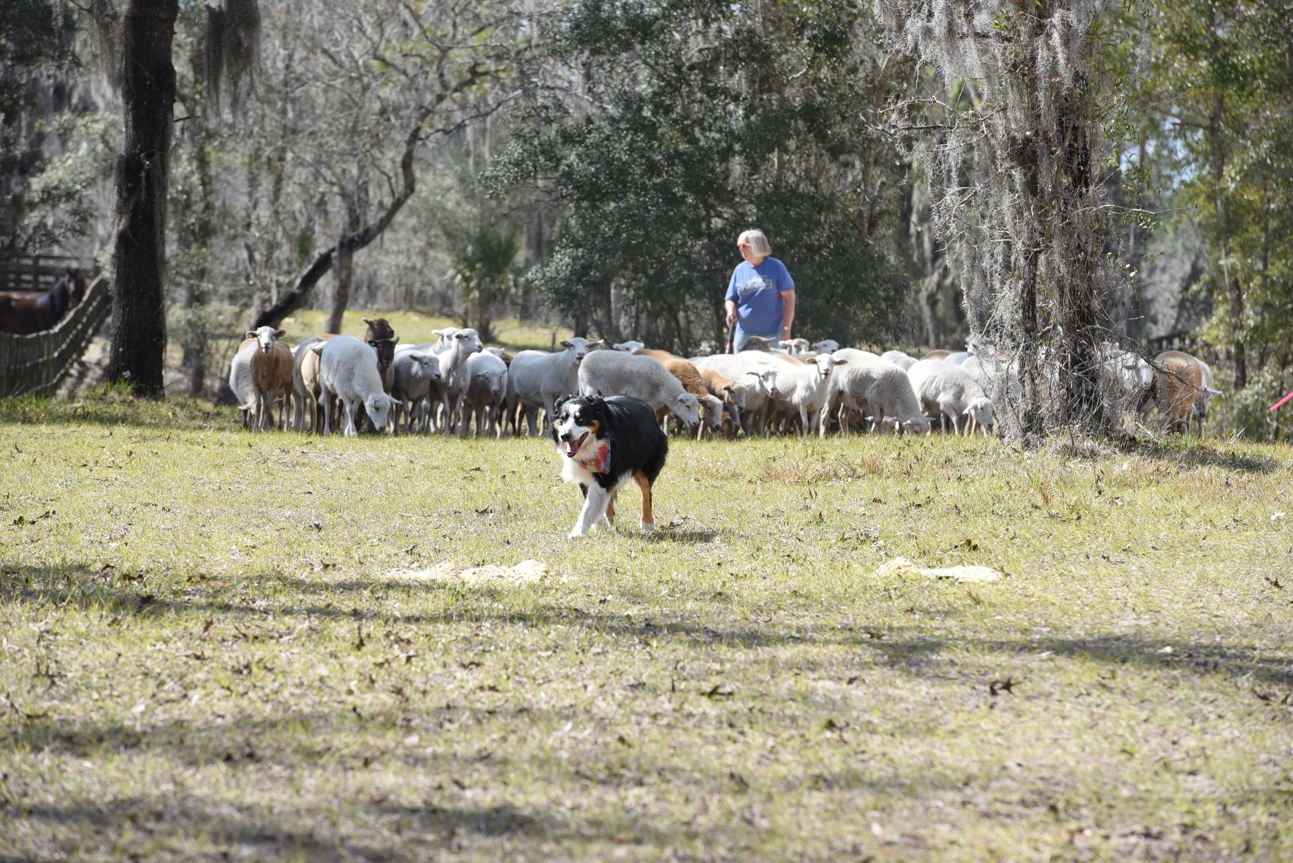 Dog and Sheep.jpg