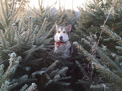 frosty Christmas Trees and Husky
