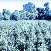 long trees.jpg