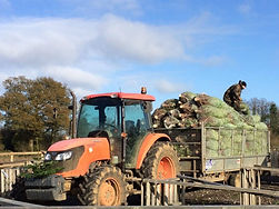 freshly cut real trees at Christmas Tree Place near Watford