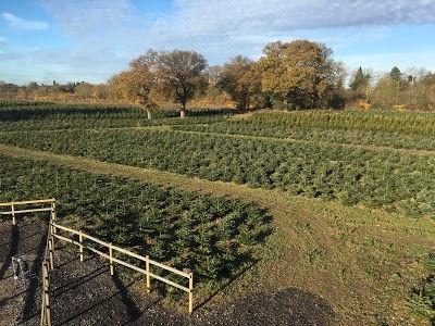 Christmas Trees growing at tree Farm Berkhamsted Herts