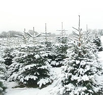 Christmas Trees in snow near Wendover