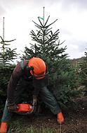 Christmas Trees being fresh cut at Berkhamsted near Hemel Hempstead