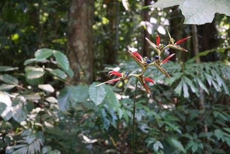 Birds of Paradise at Mount Makiling