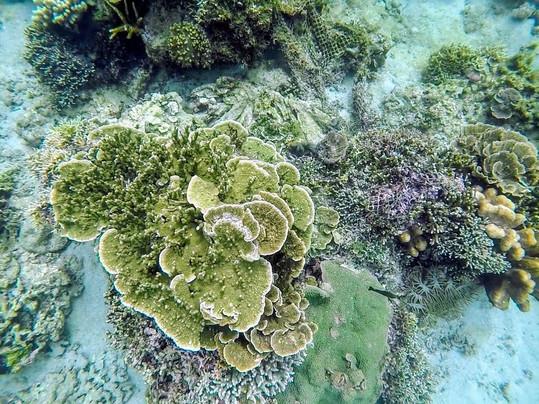 Anilao Batangas Coral Garden Rose