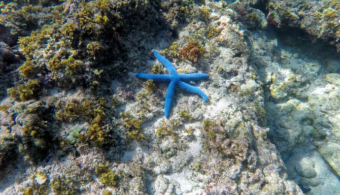 blue starfish in waters of Romblon