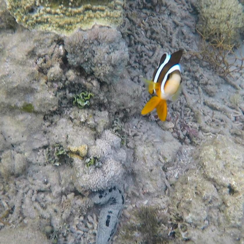 Anilao Batangas Coral Garden with Clown Fish