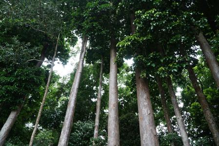 Centenarian Toog Trees at Mount Makiling