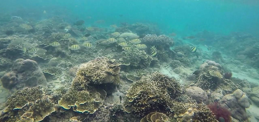 Anilao Batangas Coral Garden with Striped Fish and Angel Fish