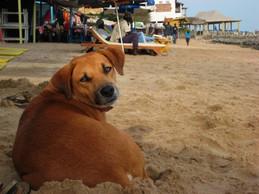 Your typical beach dog, on Ngor Island