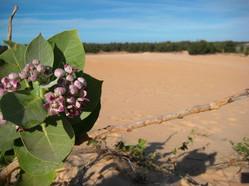 Desert flower near Lac Rose