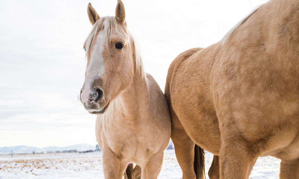 palomino horses Montana healing