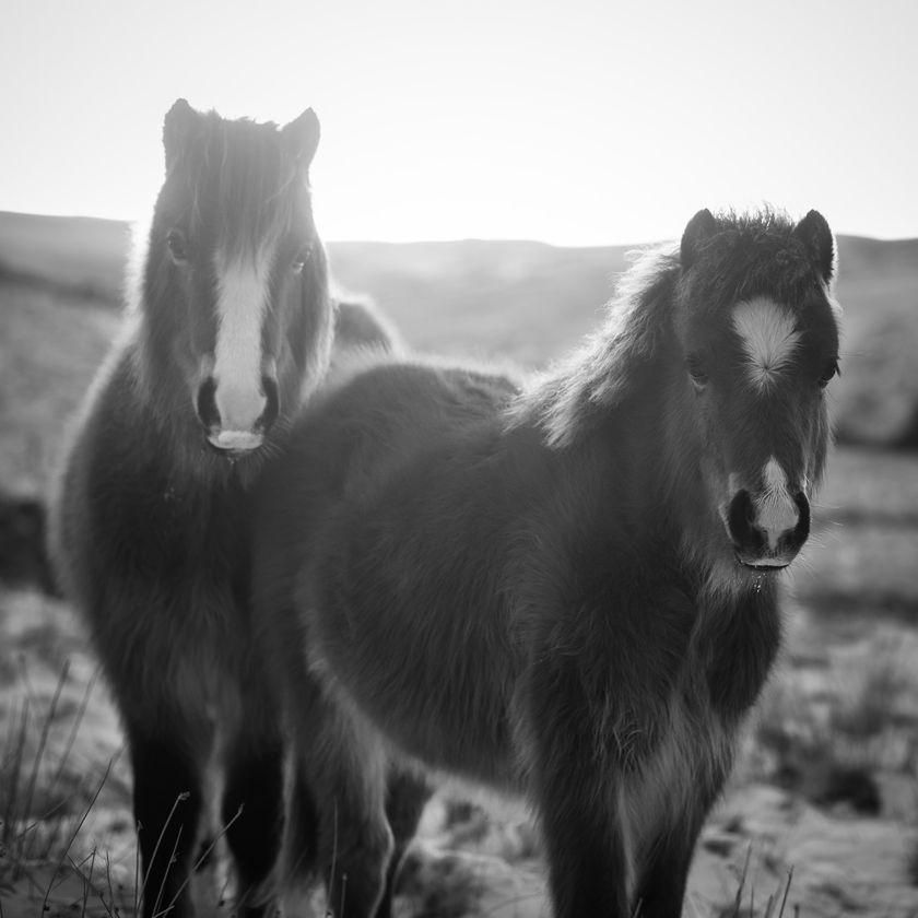 Brecon Beacons Wild Horses