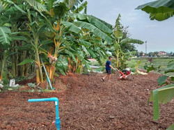 Working in the fields, Banana Trees