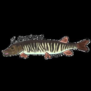 Redfin Pickerel