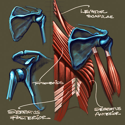 Posterior Muscles & Scapula