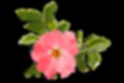 Rose-Rosehip.png