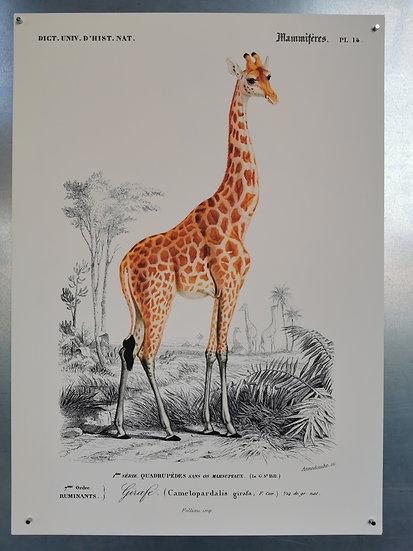 Affiche la girafe