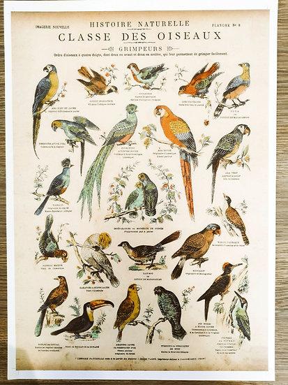 Affiche planche perroquets
