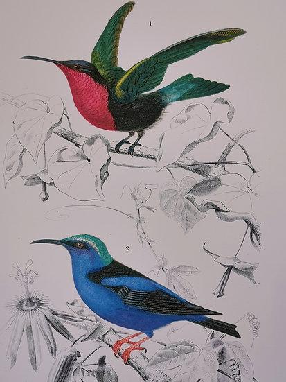 Affiche oiseaux planche ornithologique