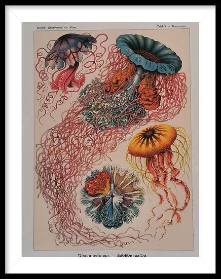 Affiche les méduses planche ornithologique