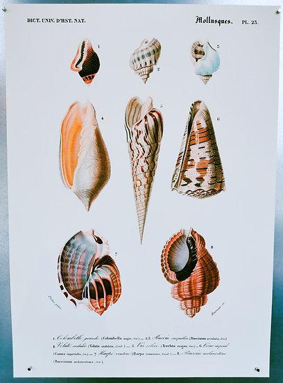 Affiche coquillages
