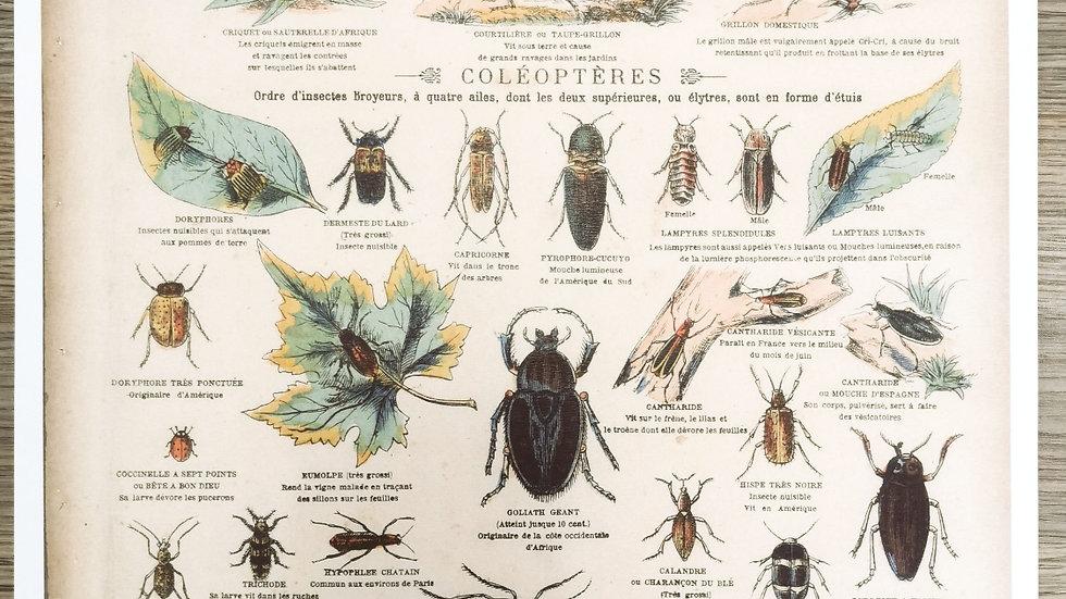 Affiche insectes scarabées