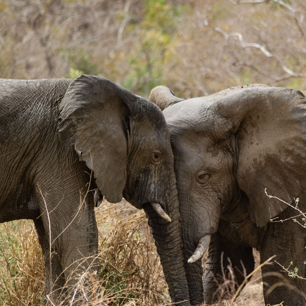 Elephant watering at Leon Lamprecht's ho