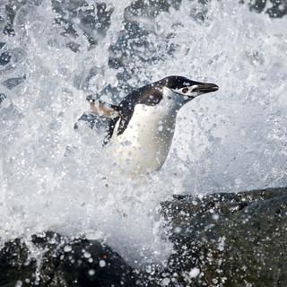 Wildlife Antarctica: Chinstrap Penguin E