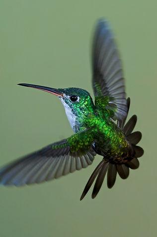 Ecuador_Hummingbird_ Andean Emerald.jpg