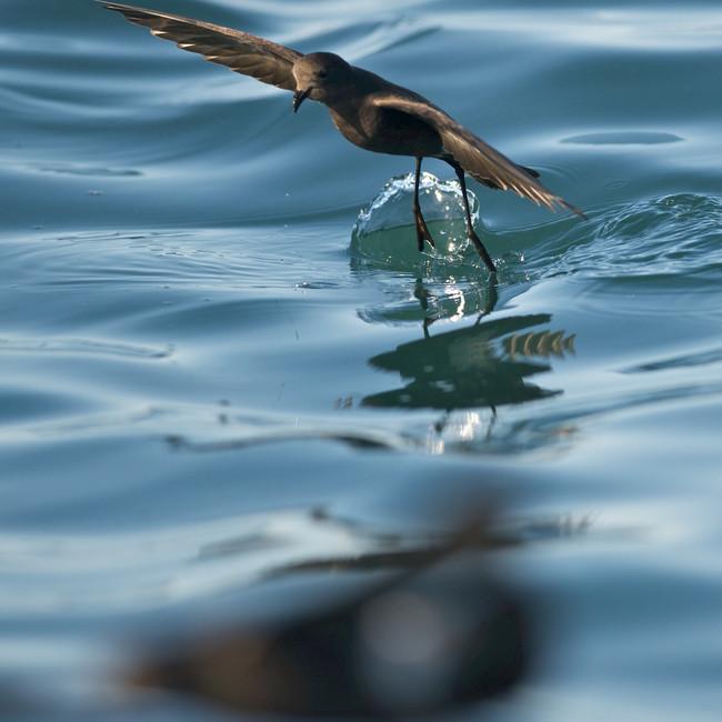 Wildlife - Antarctica: Birds - Wilson's