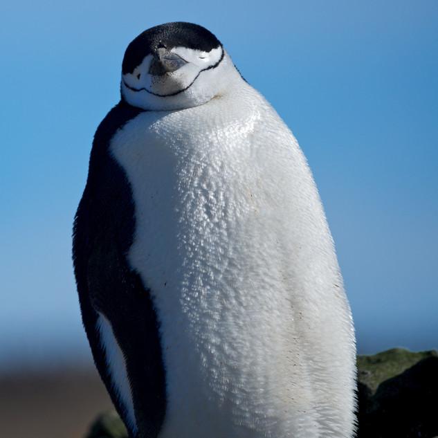 Wildlife Antarctica: Chinstrap Penguin a