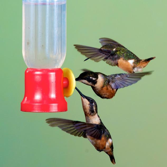 Wildlife - Ecuador_Hummingbird_ Two Purp
